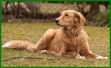 SIMONA, Hund, Golden Retriever-Irish Setter-Mix in Lauf - Bild 12