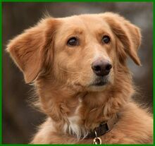 SIMONA, Hund, Golden Retriever-Irish Setter-Mix in Lauf - Bild 13