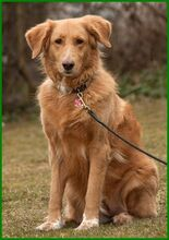 SIMONA, Hund, Golden Retriever-Irish Setter-Mix in Lauf - Bild 14