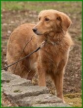 SIMONA, Hund, Golden Retriever-Irish Setter-Mix in Lauf - Bild 15