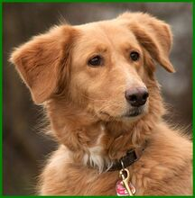 SIMONA, Hund, Golden Retriever-Irish Setter-Mix in Lauf - Bild 16