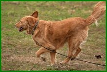 SIMONA, Hund, Golden Retriever-Irish Setter-Mix in Lauf - Bild 17
