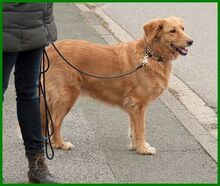 SIMONA, Hund, Golden Retriever-Irish Setter-Mix in Lauf - Bild 18