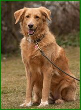 SIMONA, Hund, Golden Retriever-Irish Setter-Mix in Lauf - Bild 2