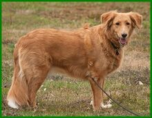 SIMONA, Hund, Golden Retriever-Irish Setter-Mix in Lauf - Bild 3