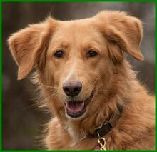 SIMONA, Hund, Golden Retriever-Irish Setter-Mix in Lauf - Bild 4