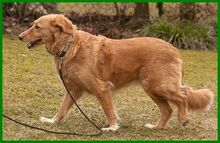 SIMONA, Hund, Golden Retriever-Irish Setter-Mix in Lauf - Bild 5