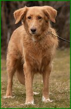 SIMONA, Hund, Golden Retriever-Irish Setter-Mix in Lauf - Bild 6