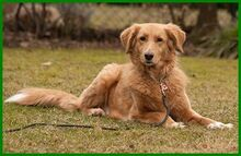 SIMONA, Hund, Golden Retriever-Irish Setter-Mix in Lauf - Bild 7