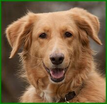 SIMONA, Hund, Golden Retriever-Irish Setter-Mix in Lauf - Bild 8