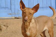 HOLLI, Hund, Podenco-Mix in Spanien - Bild 1
