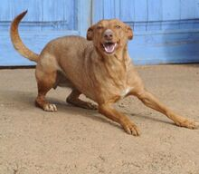 HOLLI, Hund, Podenco-Mix in Spanien - Bild 2