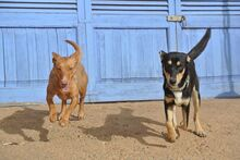 HOLLI, Hund, Podenco-Mix in Spanien - Bild 3