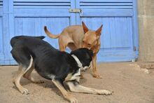 HOLLI, Hund, Podenco-Mix in Spanien - Bild 4