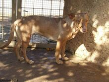 HOLLI, Hund, Podenco-Mix in Spanien - Bild 7