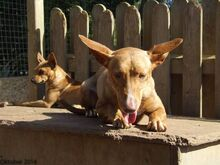 HOLLI, Hund, Podenco-Mix in Spanien - Bild 8