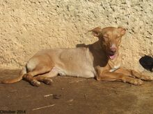 HOLLI, Hund, Podenco-Mix in Spanien - Bild 9