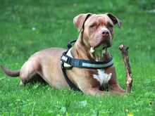 GINA, Hund, Pit Bull Terrier-Mix in Hamburg - Bild 1