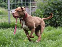 GINA, Hund, Pit Bull Terrier-Mix in Hamburg - Bild 3