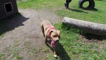 GINA, Hund, Pit Bull Terrier-Mix in Hamburg - Bild 5