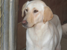 ESTEICY, Hund, Labrador-Mix in Spanien - Bild 1