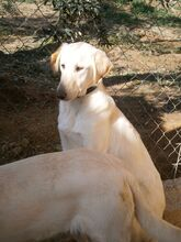 ESTEICY, Hund, Labrador-Mix in Spanien - Bild 10