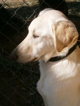 ESTEICY, Hund, Labrador-Mix in Spanien - Bild 11