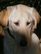 ESTEICY, Hund, Labrador-Mix in Spanien - Bild 13