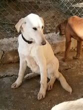 ESTEICY, Hund, Labrador-Mix in Spanien - Bild 14