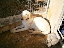 ESTEICY, Hund, Labrador-Mix in Spanien - Bild 16