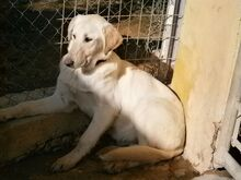 ESTEICY, Hund, Labrador-Mix in Spanien - Bild 18