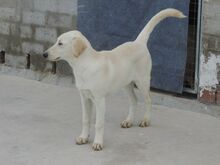 ESTEICY, Hund, Labrador-Mix in Spanien - Bild 4