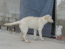 ESTEICY, Hund, Labrador-Mix in Spanien - Bild 5