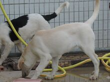 ESTEICY, Hund, Labrador-Mix in Spanien - Bild 6