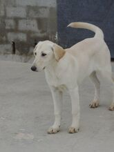 ESTEICY, Hund, Labrador-Mix in Spanien - Bild 7