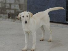ESTEICY, Hund, Labrador-Mix in Spanien - Bild 8