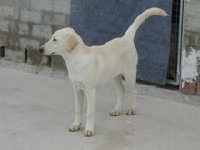 ESTEICY, Hund, Labrador-Mix in Spanien - Bild 9