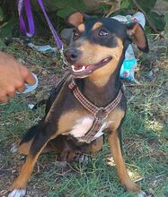 MAMMY, Hund, Pinscher-Mix in Spanien - Bild 1