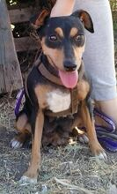 MAMMY, Hund, Pinscher-Mix in Spanien - Bild 2