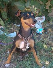 MAMMY, Hund, Pinscher-Mix in Spanien - Bild 3