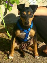MAMMY, Hund, Pinscher-Mix in Spanien - Bild 5