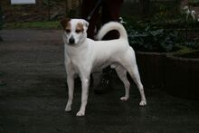 GERRY, Hund, Jack Russell Terrier-Mix in Zweibrücken - Bild 1