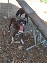HOOK, Hund, Boxer-Mix in Zypern - Bild 2