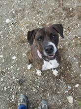 HOOK, Hund, Boxer-Mix in Zypern - Bild 8