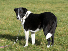 FLY, Hund, Border Collie-Mix in Neuhausen - Bild 4