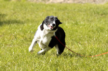 FLY, Hund, Border Collie-Mix in Neuhausen - Bild 5