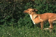 CANDELA, Hund, Podenco-Mix in Spanien - Bild 1