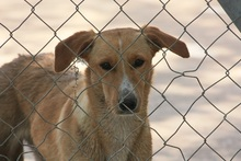 CANDELA, Hund, Podenco-Mix in Spanien - Bild 2
