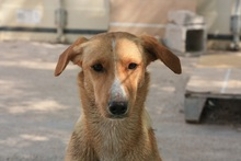 CANDELA, Hund, Podenco-Mix in Spanien - Bild 3