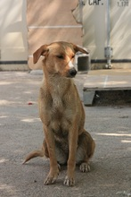 CANDELA, Hund, Podenco-Mix in Spanien - Bild 4